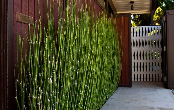 Horsetail rush, pruned to hedge height