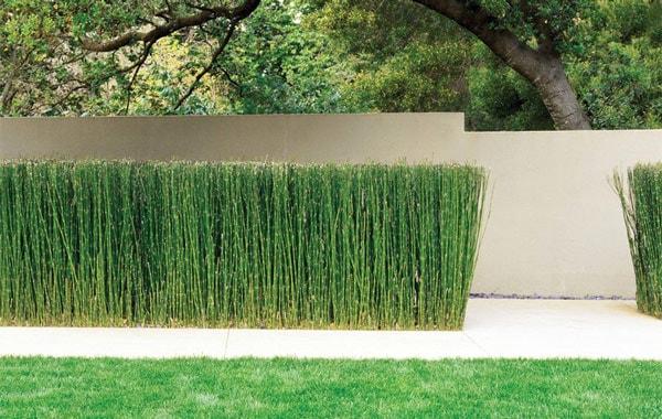 Horsetail rush, pruned to hedge height
