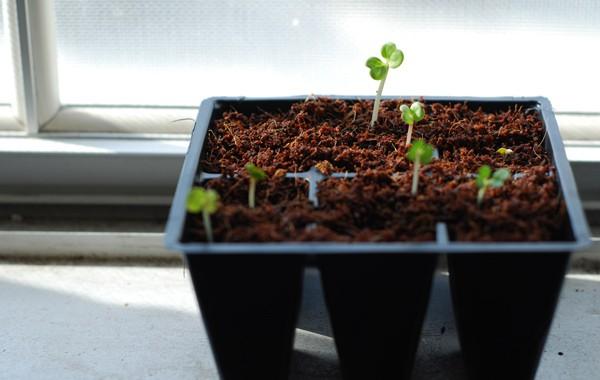 Convolvulus Seedlings in the Window