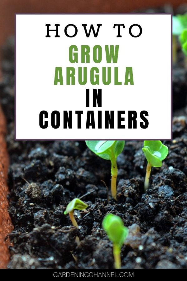 arugula seedlings with text overlay how to grow arugula in containers