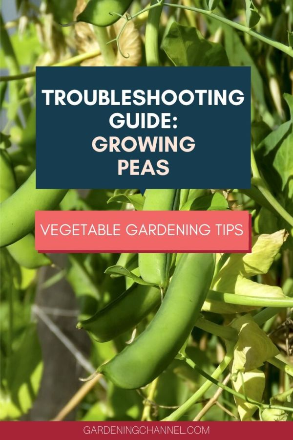 yellowing peas with text overlay troubleshooting guide growing peas vegetable gardening tips