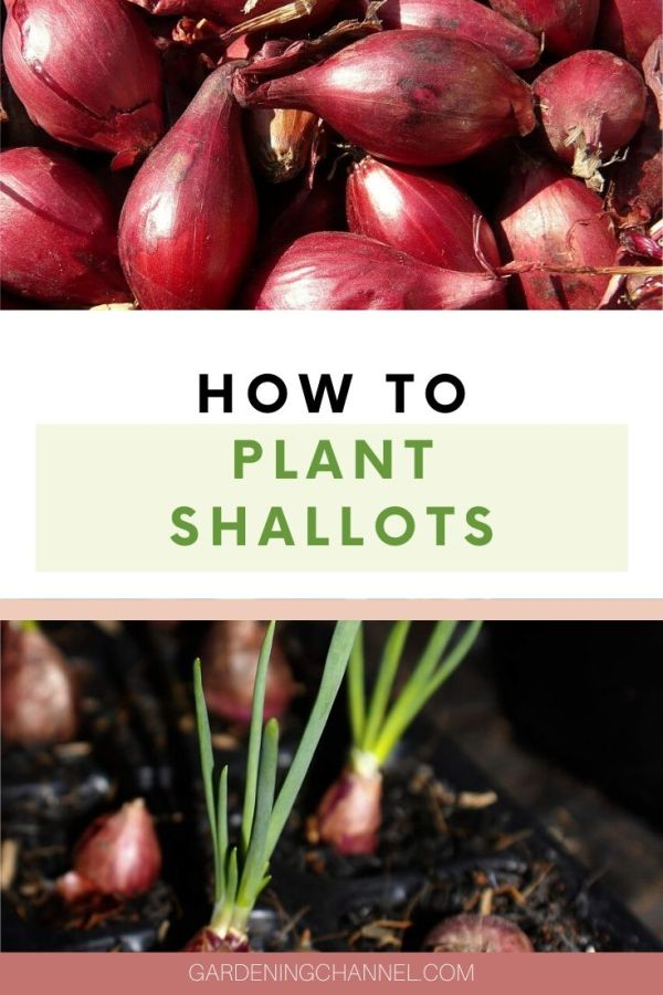 shallots and planted shallots with text overlay how to plant shallots