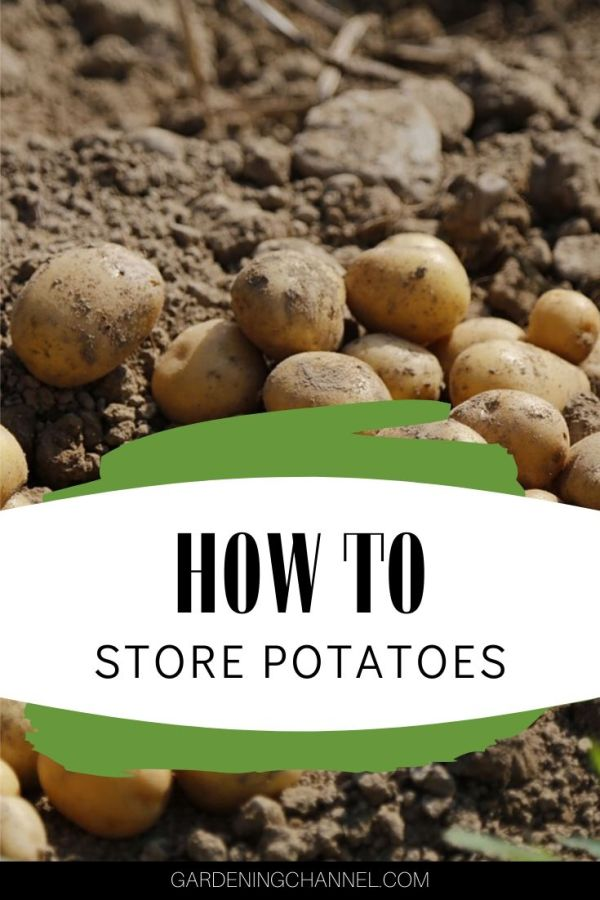 harvested potatoes with text overlay how to store potatoes
