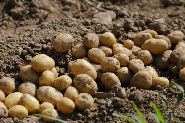 how to store potato harvest