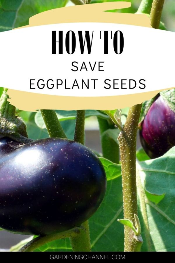 eggplant in garden with text overlay how to save eggplant seeds