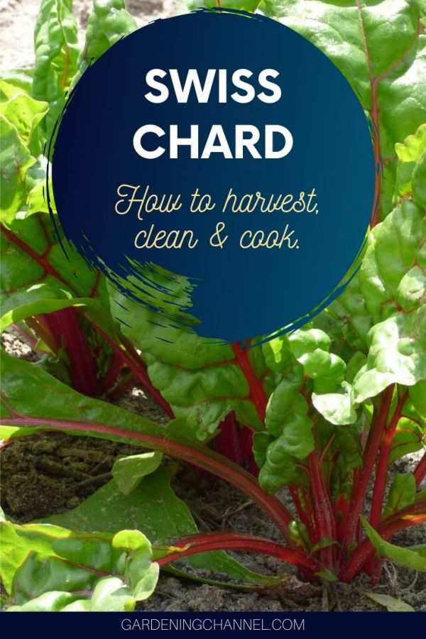 swiss chard in garden with text overlay how to harvest clean and cook swiss chard