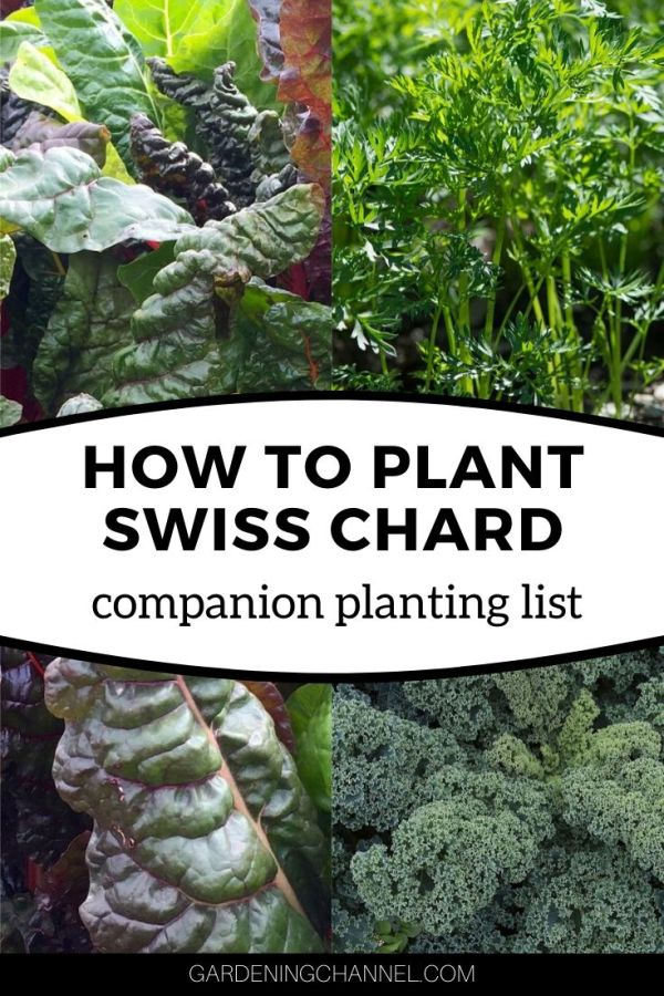 swiss chard carrots kale with text overlay how to plant swiss chard companion planting list
