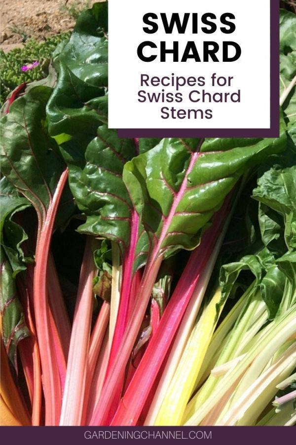 harvested swiss chard with text overlay swiss chard recipes for swiss chard stems