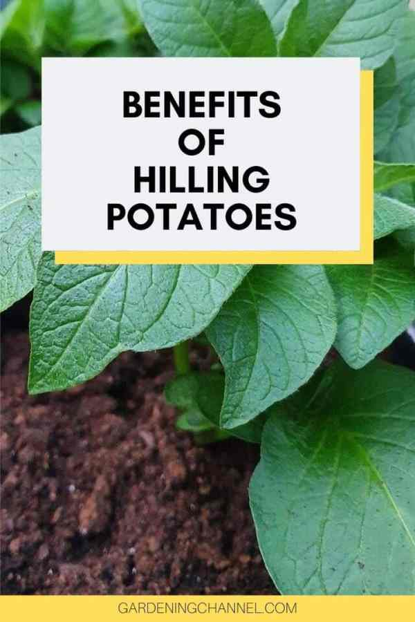 potato plant in container with text overlay benefits of hilling potatoes