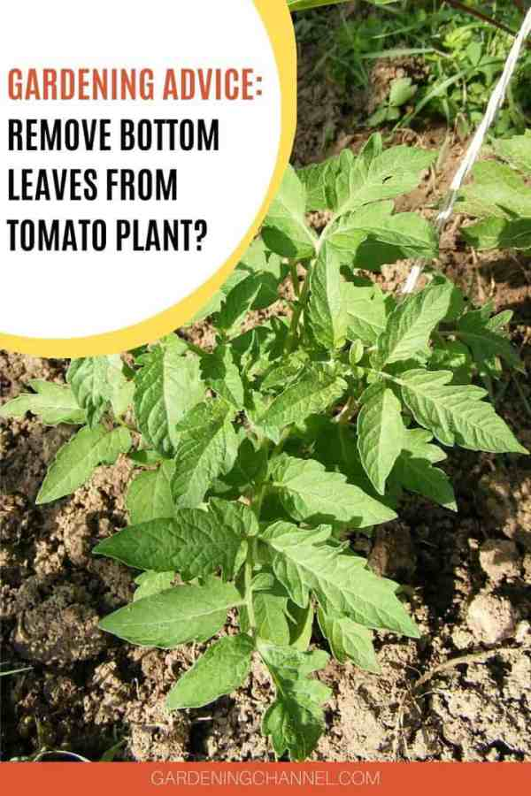 tomato plant in garden with text overlay gardening advice remove bottom leaves from tomato plant