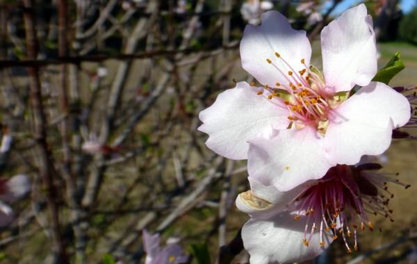Almond tree in bloom