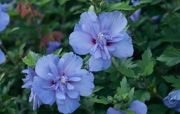 Blue chiffon Hibiscus syriacus