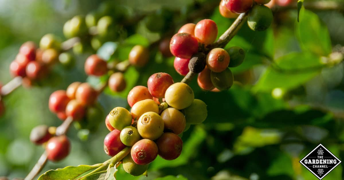 Coffee plant that grow in your patio