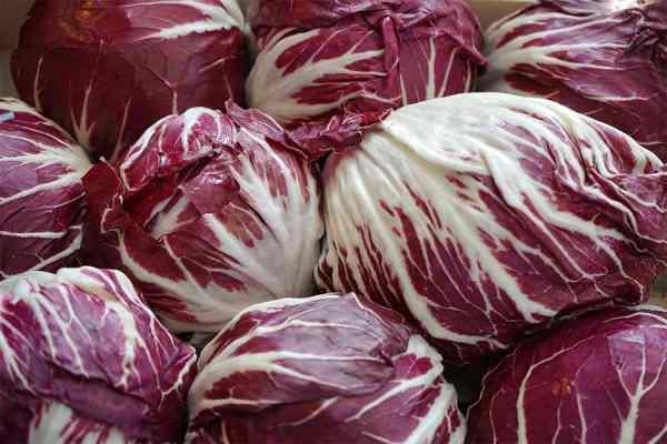 Radicchio vegetable for salad