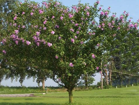 Hibiscus syriacus Bush