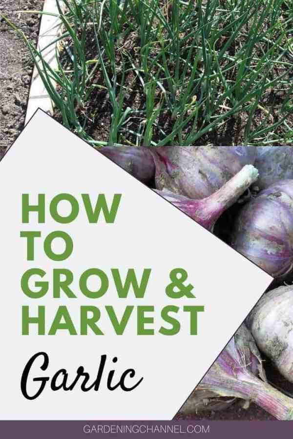 garlic bed harvested garlic with text overlay how to grow and harvest garlic