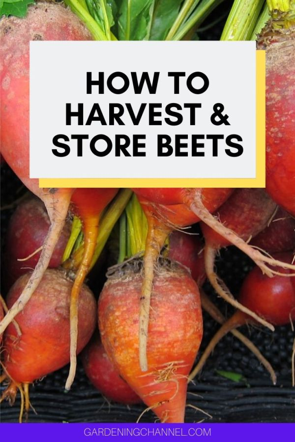 harvested beets with text overlay how to harvest and store beets