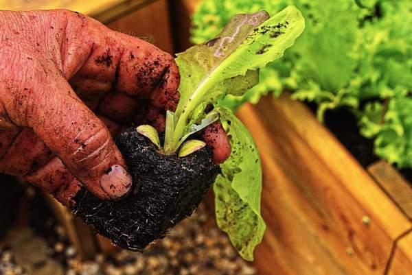 starting lettuce seeds