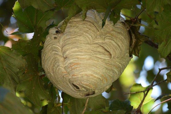 hornet nest keeps away wasps