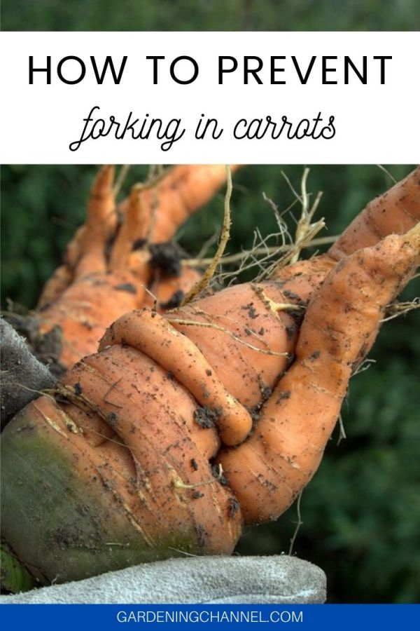 harvested carrots with text overlay how to prevent forking in carrots