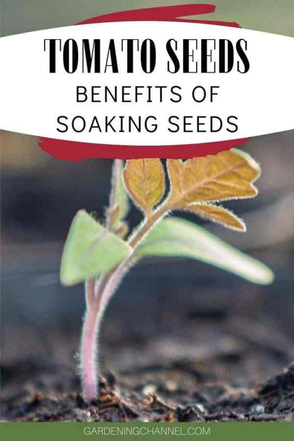 tomato seedling with text overlay tomato seeds benefits of soaking seeds