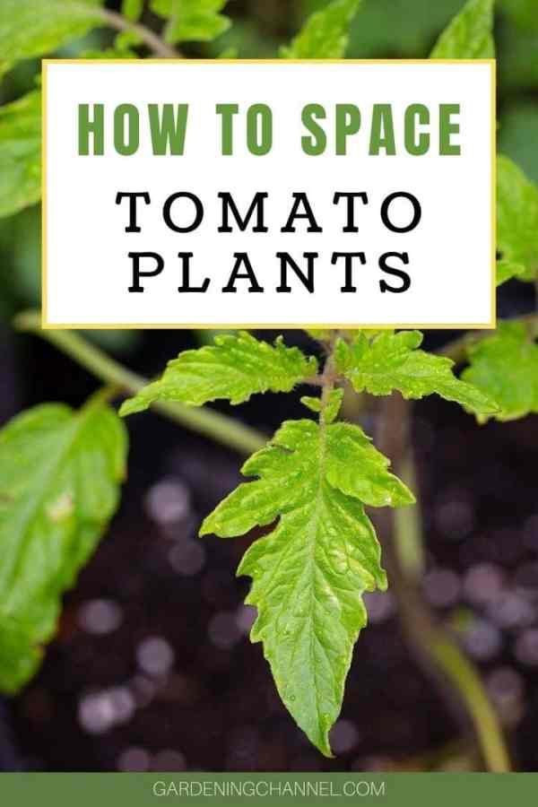 tomato plant garden with text overlay how to space tomato plants