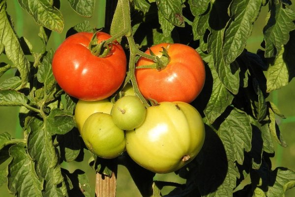 tomato plant with lots of tomatoes