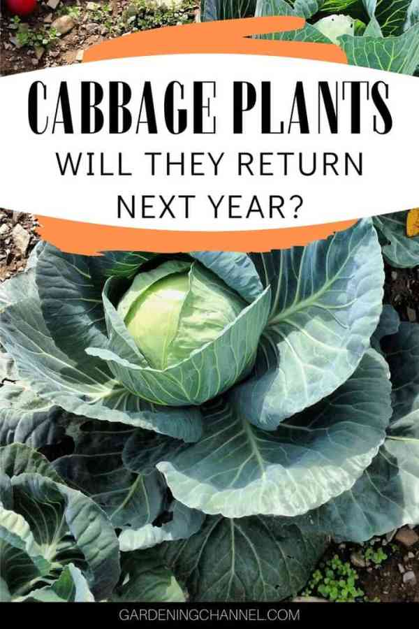 cabbage in garden with text overlay cabbage plants will they return next year