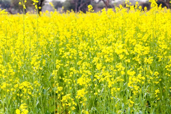 flowering mustard greens