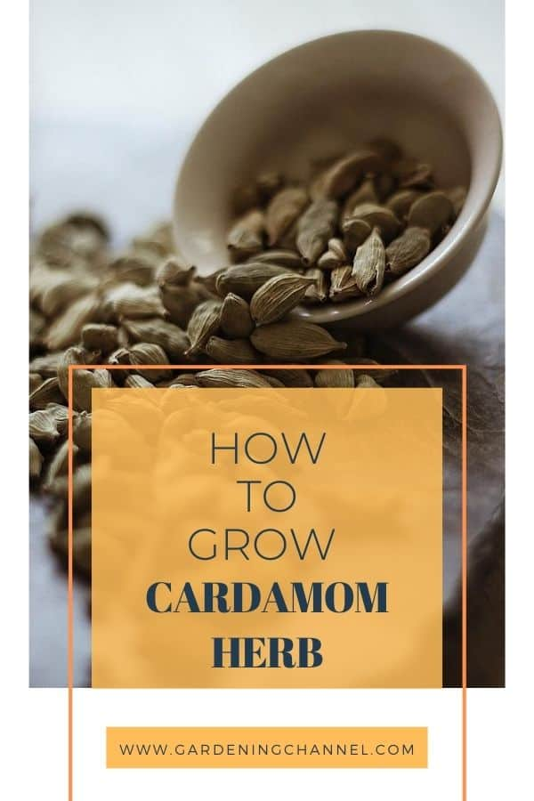 harvested cardamom with text overlay how to grow cardamom herb
