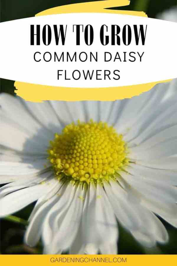 white daisy with text overlay how to grow common daisy flowers