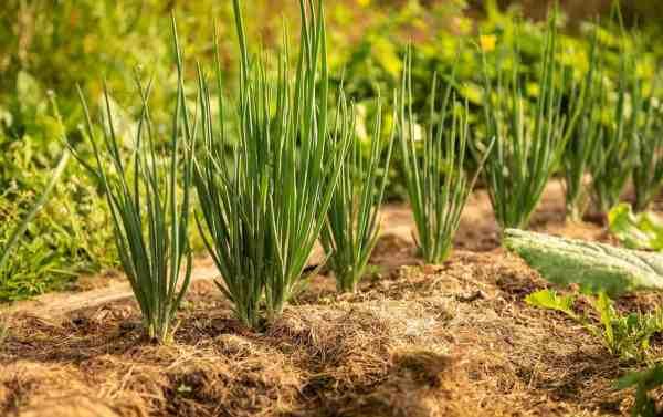 onion plants growing