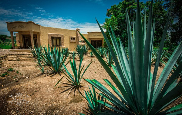 agaves plants