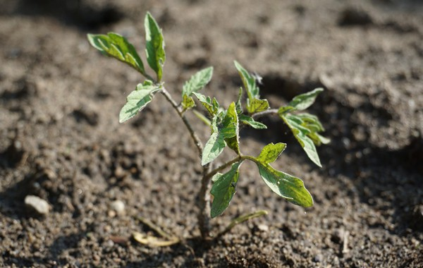 Tomato transplant in well-drained soil