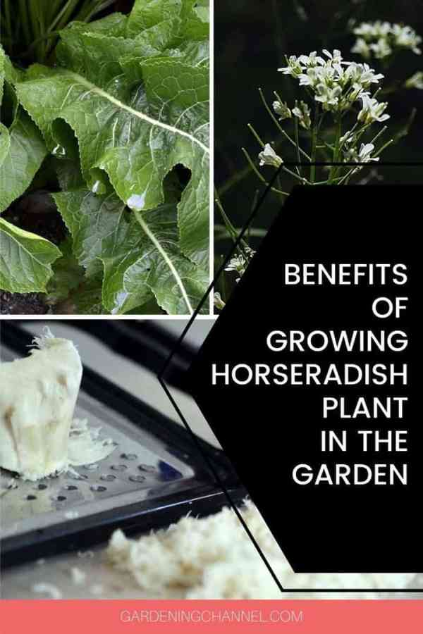 horseradish leaves flowers roots with text overlay benefits of growing horseradish plant in the garden