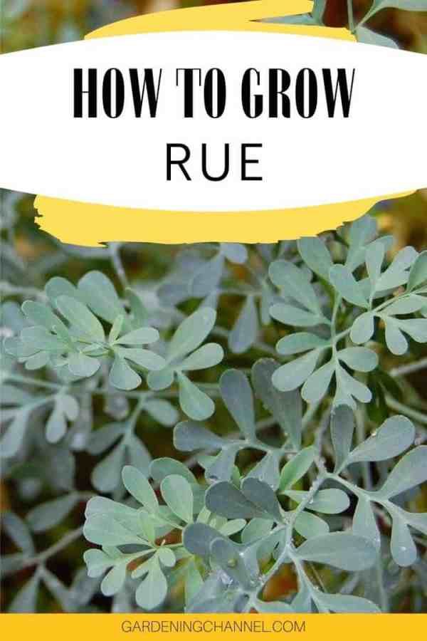 rue with text overlay how to grow rue