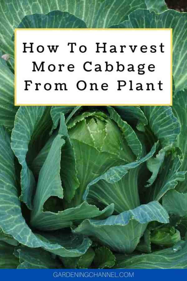 cabbage in garden with text overlay how to harvest more cabbage from one plant