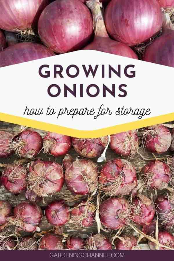 red onions with text overlay growing onions how to prepare for storage