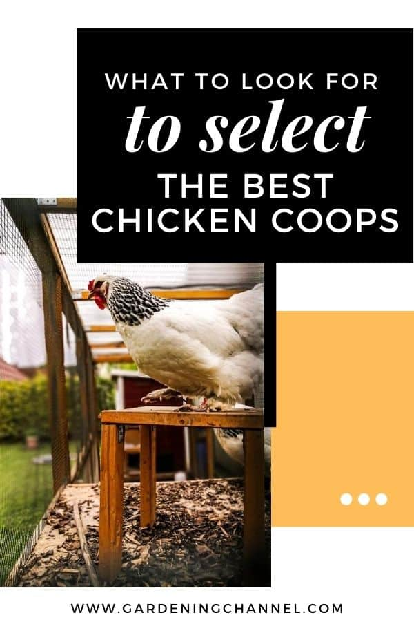 chicken in coop with text overlay what to look for to select the best chicken coops