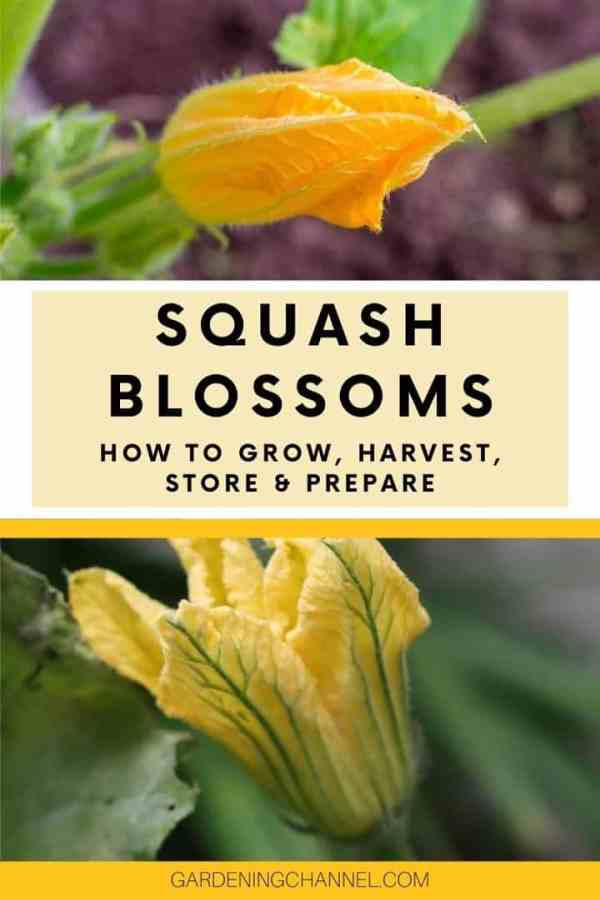 squash blooms in garden with text overlay squash blossoms how to grow harvest store and prepare