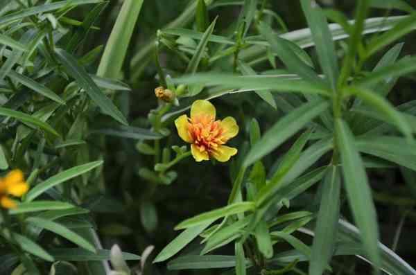 tarragon plant Artemisia dracunculus