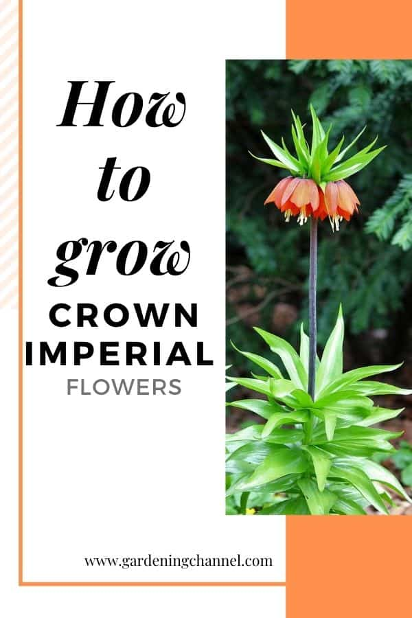 orange crown imperial flower with text overlay how to grow crown imperial flowers