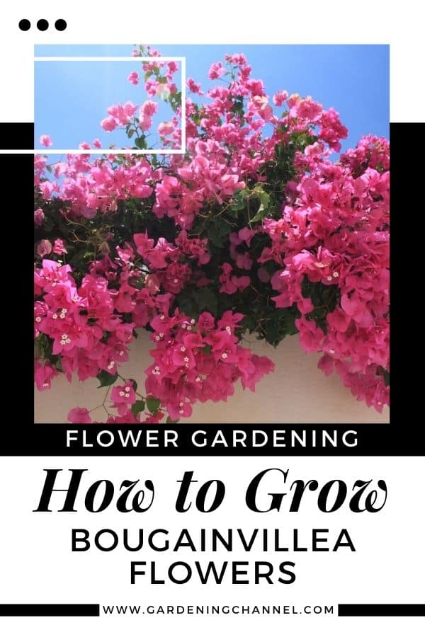 pink Bougainvillea with text overlay flower gardening how to grow Bougainvillea Flowers