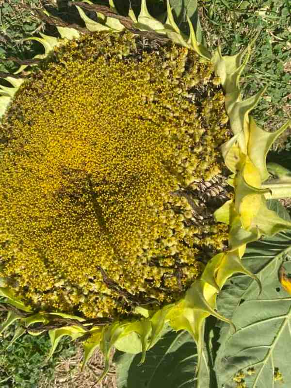 harvested sunflower head