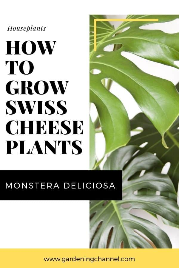 swiss cheese plant with text overlay houseplants how to grow swiss cheese plants Monstera Deliciosa
