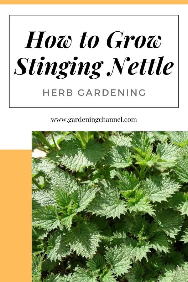 stinging nettle with text overlay how to grow stinging nettle herb gardening