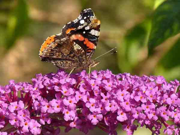 butterfly bush with a butterfly
