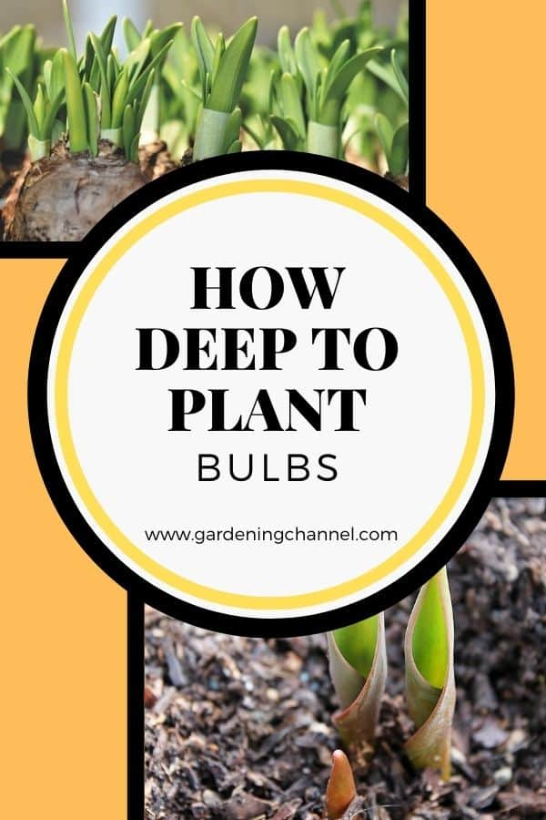 flower bulbs with text overlay how deep to plant bulbs