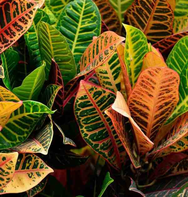 croton plant leaves