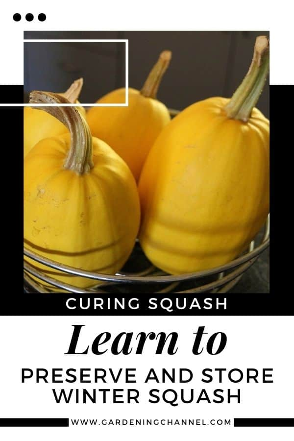 spaghetti squash with text overlay curing squash learn to preserve and store winter squash